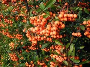 Busch Mit Roten Beeren : feuerdorn wikipedia ~ Markanthonyermac.com Haus und Dekorationen
