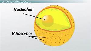 What Is A Nucleolus  - Definition  U0026 Function
