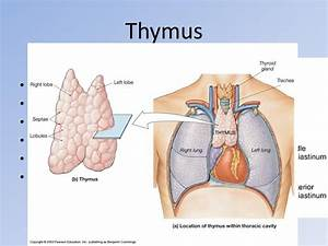 the thymus is the only organ that performs two functions ...