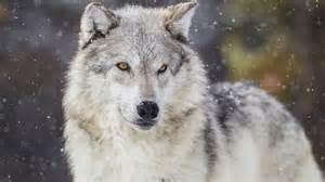 le loup qui r 244 dait 224 whitehorse est abattu zone yukon ici radio canada ca