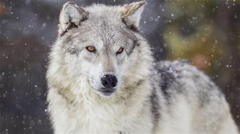 le loupe de bureau le loup qui rôdait à whitehorse est abattu zone yukon