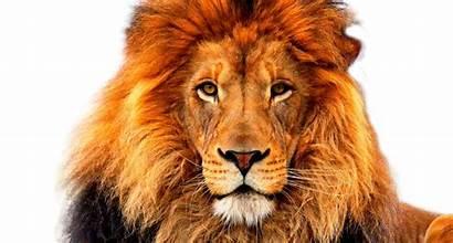 Lion Face Deviantart Deviant
