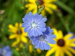 Blue Cornflower Free Stock Photo - Public Domain Pictures