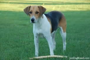 Lilly - Harrier - Dog Breeds