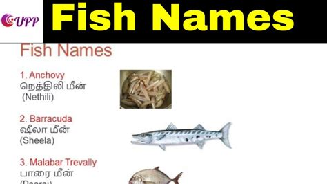 learn tamil  english fish names  images youtube