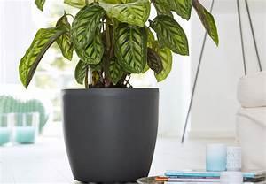 Zimmerpflanze Große Blätter : bert pfe f r zimmerpflanzen obi ratgeber ~ Lizthompson.info Haus und Dekorationen