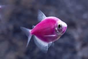 Galactic Purple GloFish Tetra