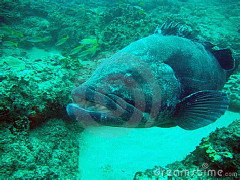 potato bass grouper carnivore