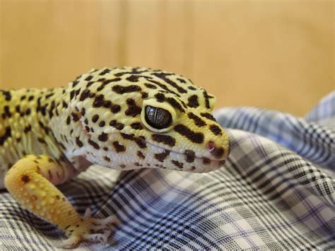 spotted gecko freckles the leopard spotted gecko photograph by chad and stacey hall
