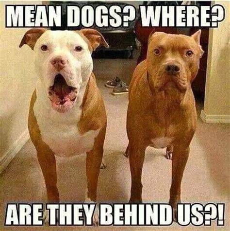 Pitbull Puppy Meme - pit bull meme woman s best friend pinterest memes pit bull and photos