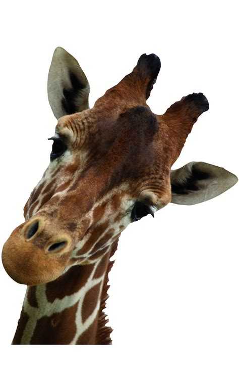 chambre bebe hello stickers girafe
