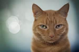 tabby cat orange medium haired orange tabby hairstyle 2013