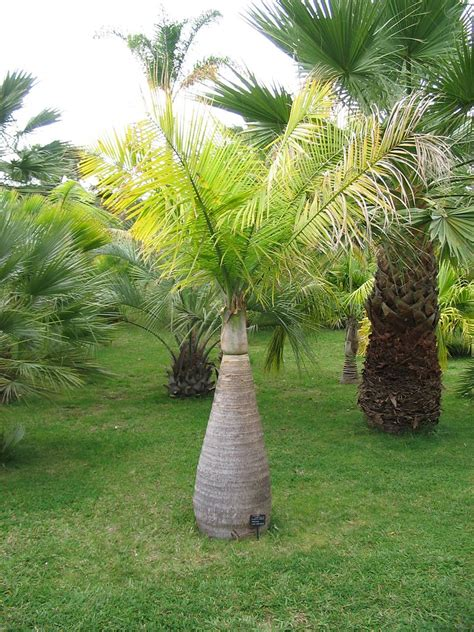 small palm trees learn   types