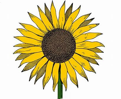 Sunflower Clip Vector Colored Printable