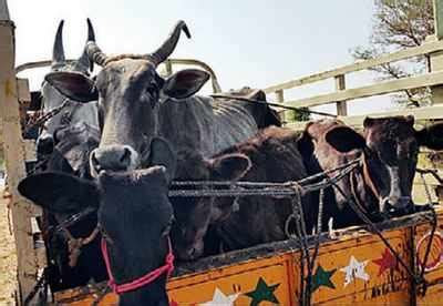 cattle slaughter kerala retains top slot  cattle