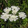 British Wild Plant: Oenanthe lachenalii Parsley Water-dropwort
