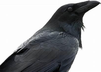 Raven Animals