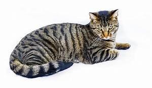 The Tiger Cat - Cat Breeds Encyclopedia