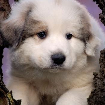 pyrenean mountain dog breed information characteristics