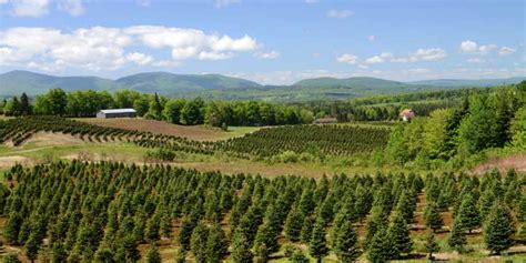 wholesale trees weir tree farms colebrook new hshire