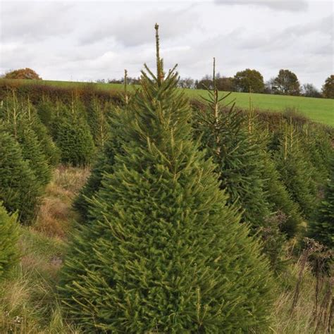 christmas trees for sale near me spruce send me a tree
