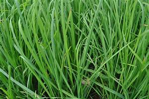 Types Of Fescue Grass Kentucky Pictures to Pin on ...