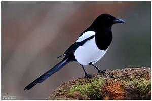 Elster Vogel Vertreiben : elster pica pica foto bild tiere wildlife ~ Lizthompson.info Haus und Dekorationen