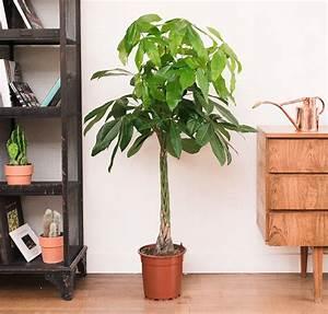 Plante De Salon : cayenne pachira aquatica difficile de trouver une plante plus luxuriante pour son salon ~ Teatrodelosmanantiales.com Idées de Décoration