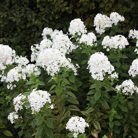 Buy Border Phlox (syn Fujiyama) Phlox Paniculata 'mount