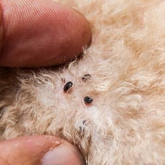 Hundeflöhe Was Hilft by Fl 246 He Beim Menschen Studie Fl He Und Flohbisse Bei