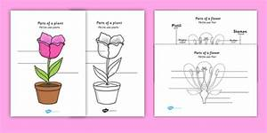 Parts Of A Plant And Flower Labelling Worksheet Romanian