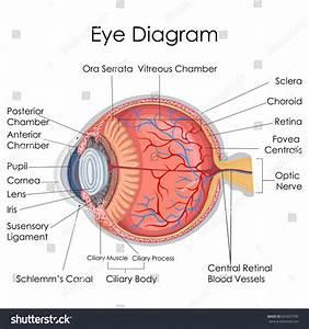 Medical Education Chart Biology Human Eye Stock Vector