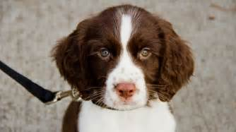 the english springer spaniel the happy puppy site