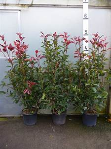Photinia Red Robin : photinia red robin hedge plants photinia x fraseri 39 red ~ Michelbontemps.com Haus und Dekorationen