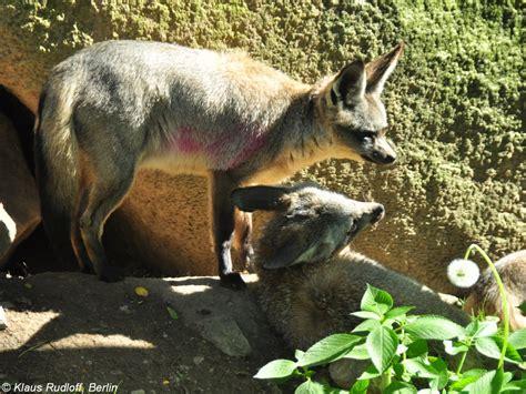 Botanischer Garten Berlin Hunde by Ostafrikanischer L 246 Ffelhund Otocyon Megalotis Virgata Im