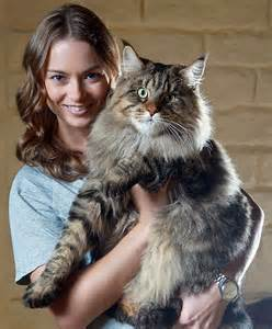 maincoon cats 21 maine coon cats that will make your kitty look