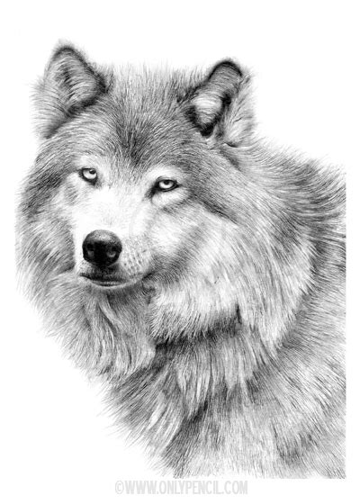 Wolves Archives - OnlyPencil.com - Wildlife Pencil