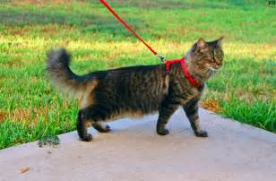 cat leashes file cat harness and leash jpg