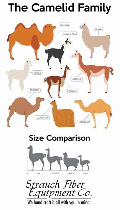 Alpaca Llama Fiber Animal Facts Alpacas Animals