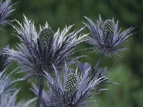 cuisine plus tv programme le chardon bleu des alpes une plante décorative