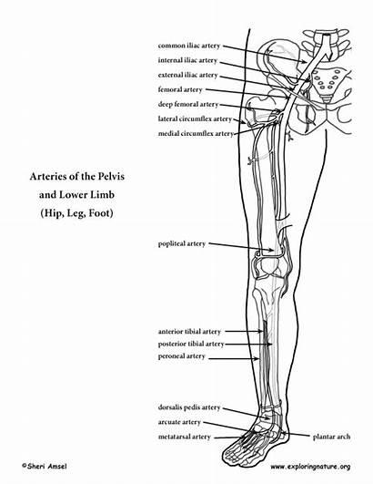 Lower Coloring Limb Arteries Leg Anatomy Foot
