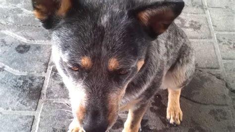 blue heeler australian cattle dog tricks youtube