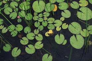 Decorative Photo Of Lotus   Water Lily Leaves On Water