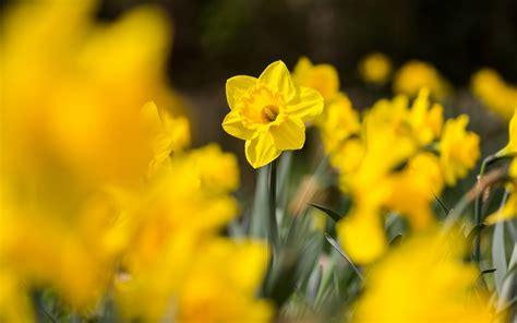 Daffodils Flowers Yellow A3 Hd Desktop Wallpapers 4k Hd