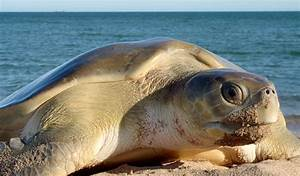 Flatback turtle migration route mapped - Australian Geographic