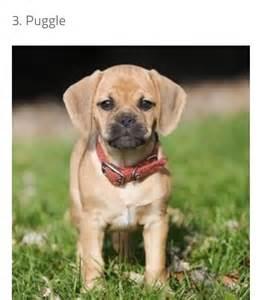 Beagle Mix with Pug