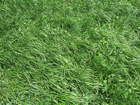 fescue grass tall fescue high yielding forage grass or toxic and invasive weed university of vermont
