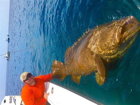 Fwc May Relax Rules On Fishing Goliath Grouper, A Hearty