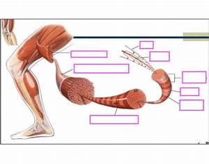 Skeletal Muscle Diagram