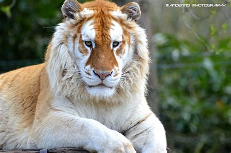 the world best photos golden tiger flickr hive mind
